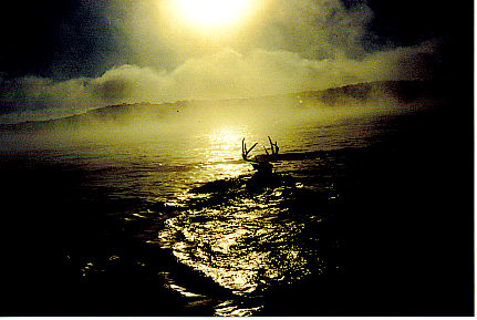 Buck swimming in lake