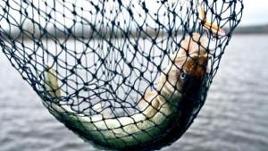 Walleye fish caught in net
